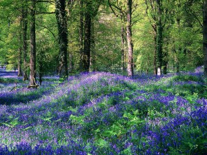 Bluebells, Forest of Dean