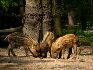 Wild Boar piglets